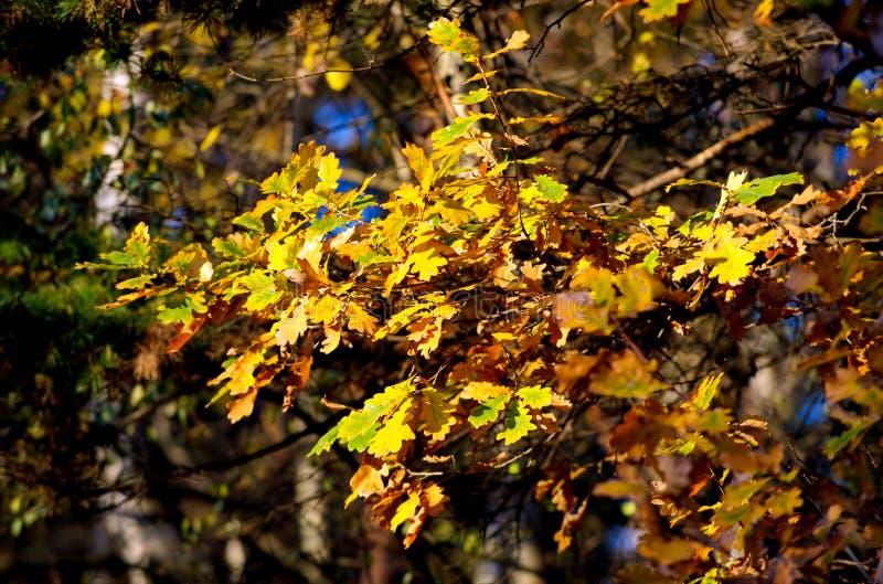 Ramo ensolarado do carvalho com as folhas amarelas brilhantes na floresta do outono imagens de stock