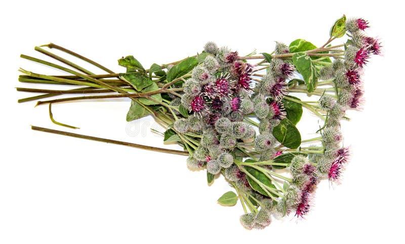 Ramo espinoso floreciente del cardo de las flores rosadas en blanco fotografía de archivo libre de regalías