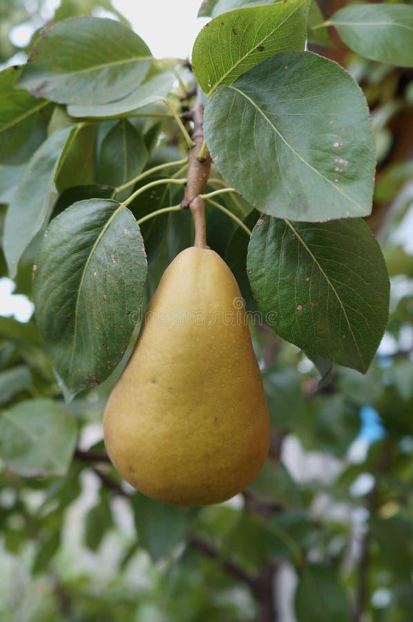 Ramo europeu da pera com uns fruto da cor da queda & x27; Bosc& x27; imagem de stock
