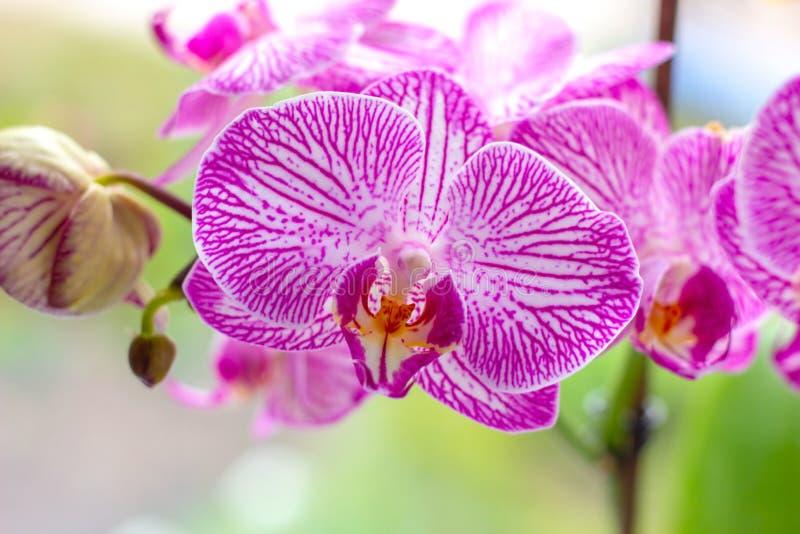Ramo exótico tropical bonito com branco, rosa e as flores magentas da orquídea do Phalaenopsis da traça na mola fotos de stock royalty free