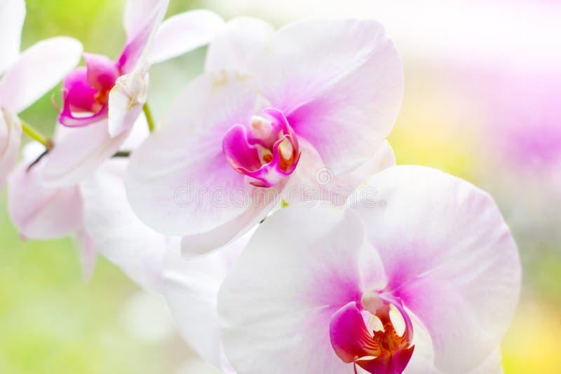 Ramo ex?tico tropical bonito com branco, rosa e as flores magentas da orqu?dea do Phalaenopsis da tra?a na mola na floresta foto de stock