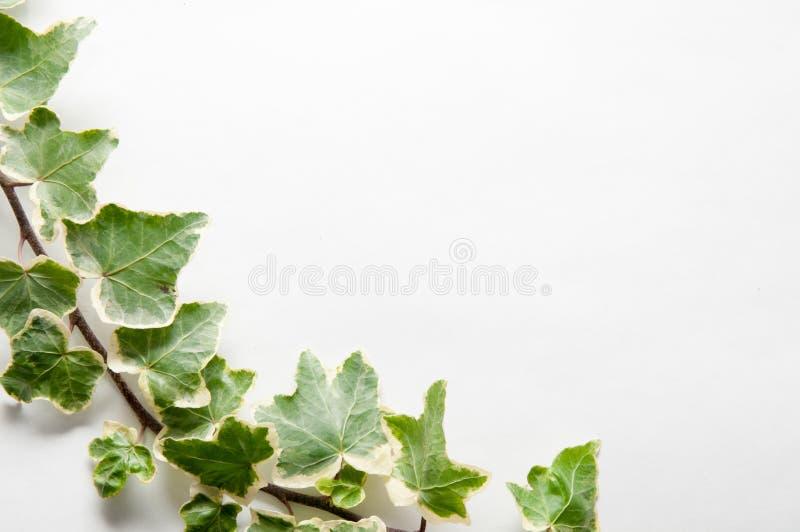 Ramo festivo das folhas da hera isoladas em um fundo branco fotos de stock