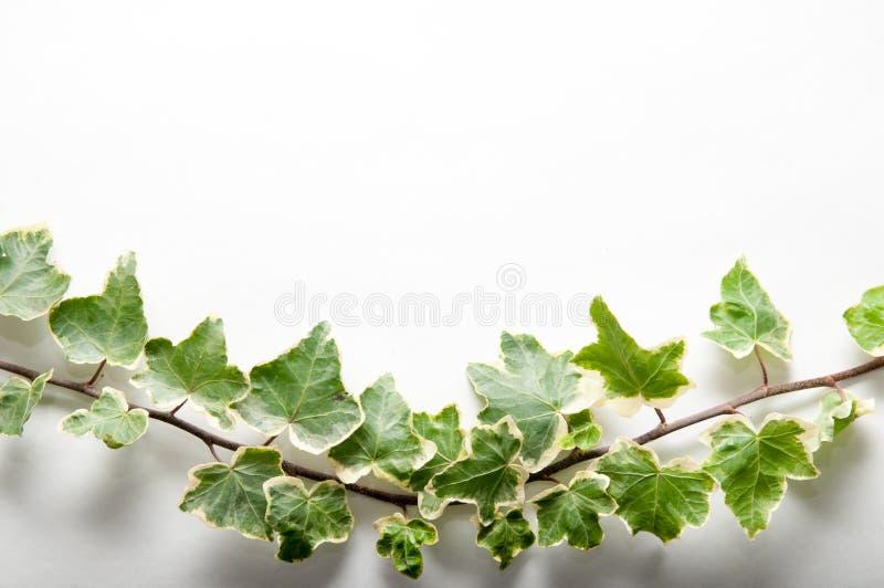 Ramo festivo das folhas da hera isoladas em um fundo branco imagem de stock royalty free