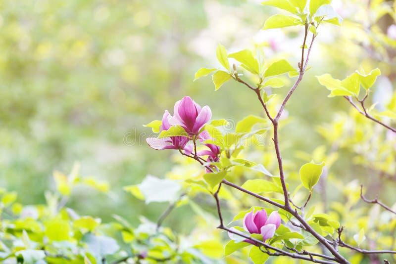 Ramo florescido bonito da magnólia na mola, árvore de florescência da flor cor-de-rosa da magnólia Natureza, mola fotos de stock royalty free