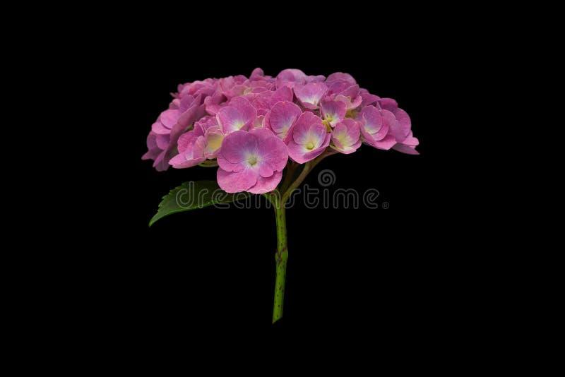Ramo fragante de hortensia púrpura, aislado en fondo negro imagenes de archivo