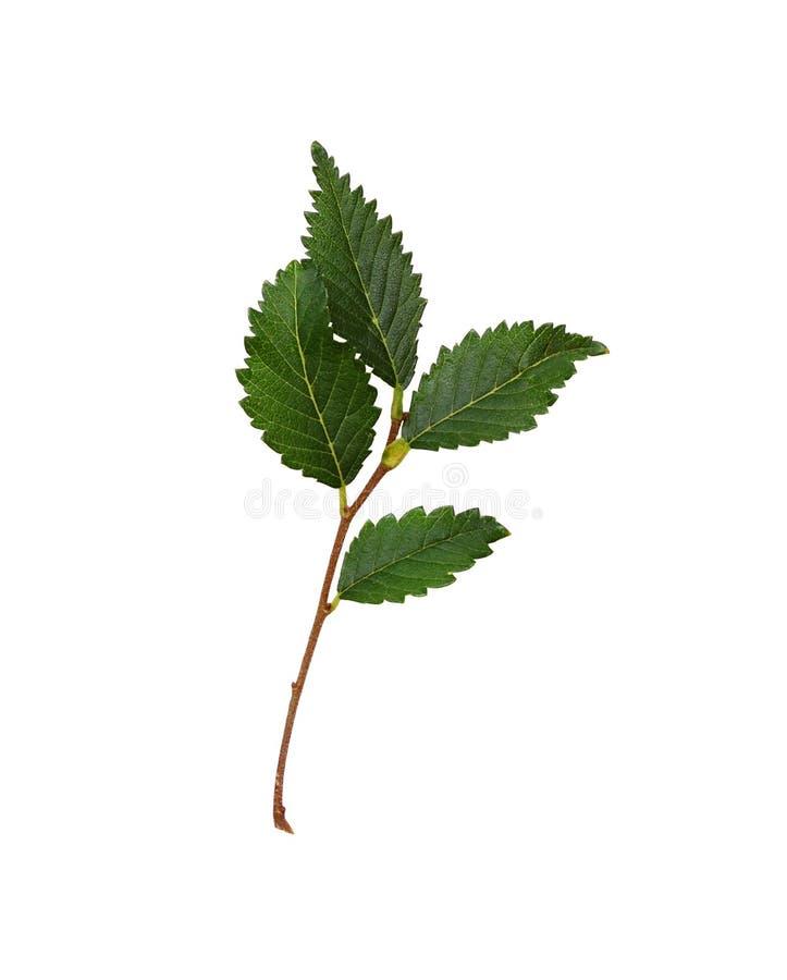 Ramo fresco con le foglie verdi fotografie stock libere da diritti