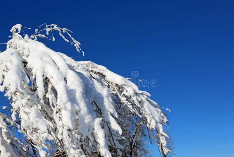 Ramo fresco da coberta da neve no céu azul fotos de stock