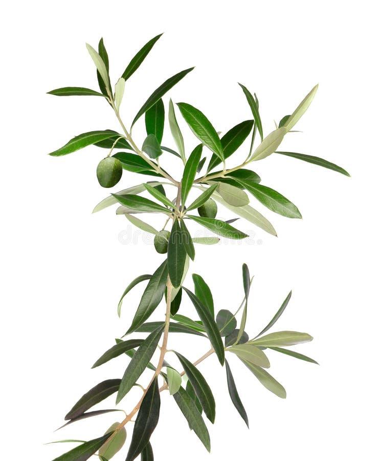 Ramo fresco di olivo isolato fotografia stock libera da diritti