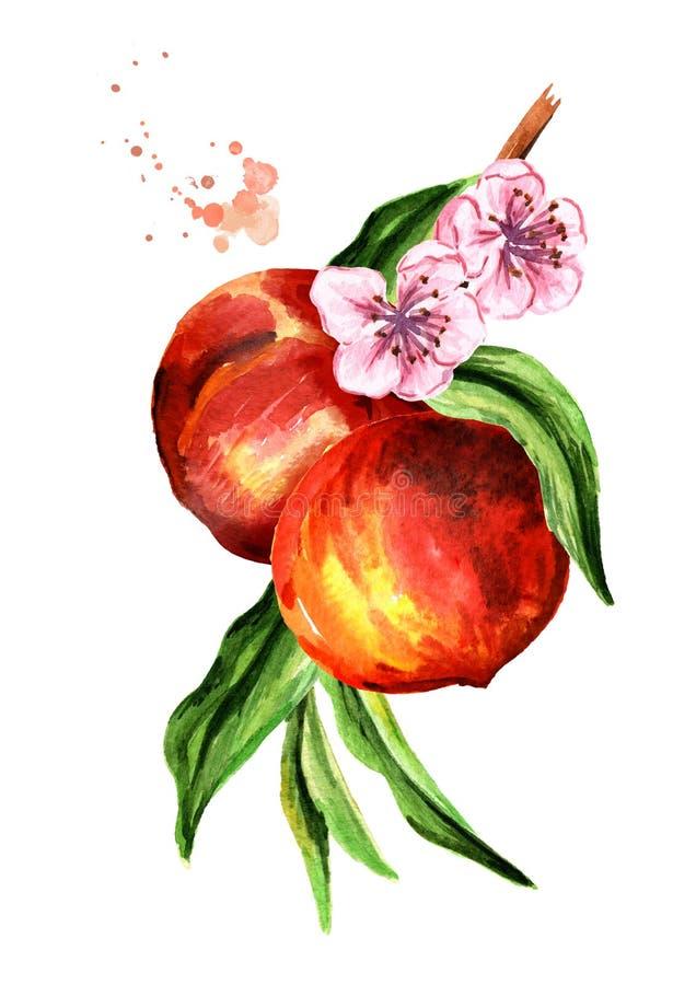 Ramo fresco do pêssego isolado no fundo branco Ilustração tirada mão da aquarela ilustração stock
