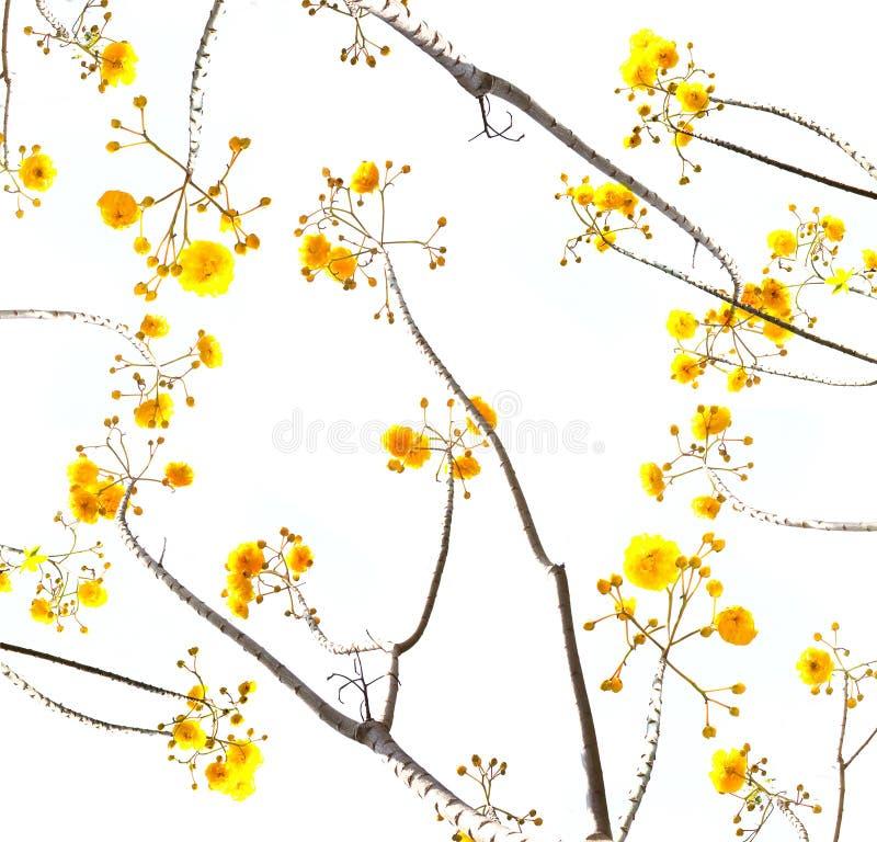 Ramo giallo del fiore con fondo bianco immagine stock libera da diritti