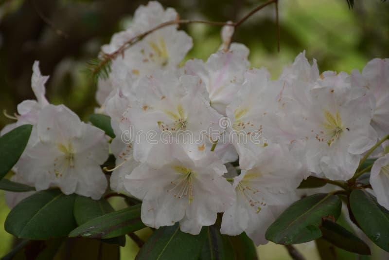 Ramo hermoso de flores blancos de la flor del rododendro imagenes de archivo