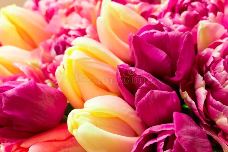 Ramo hermoso de flores púrpuras rosadas coloridas frescas de los tulipanes Tarjeta de felicitación imagenes de archivo