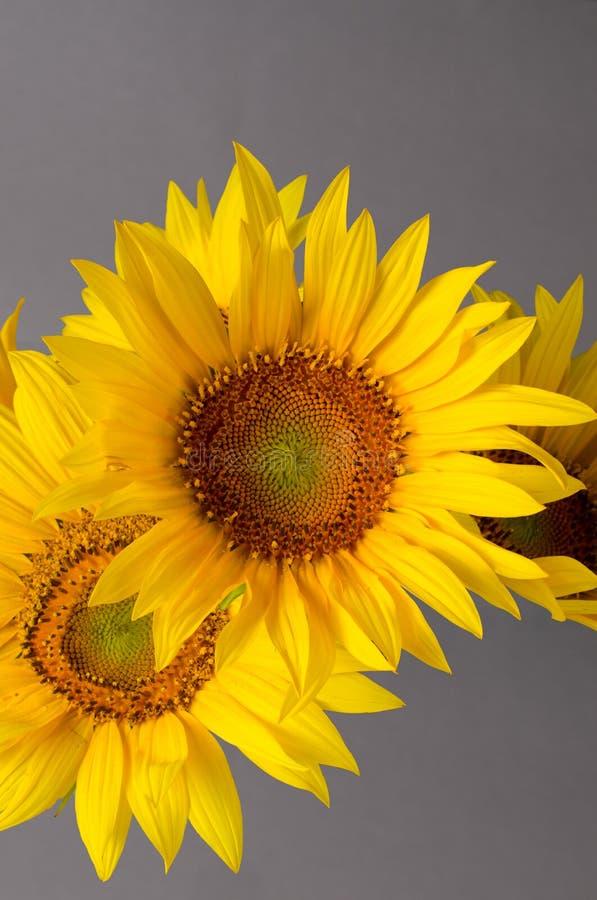 Ramo hermoso de girasoles amarillos brillantes contra fondo gris fotos de archivo