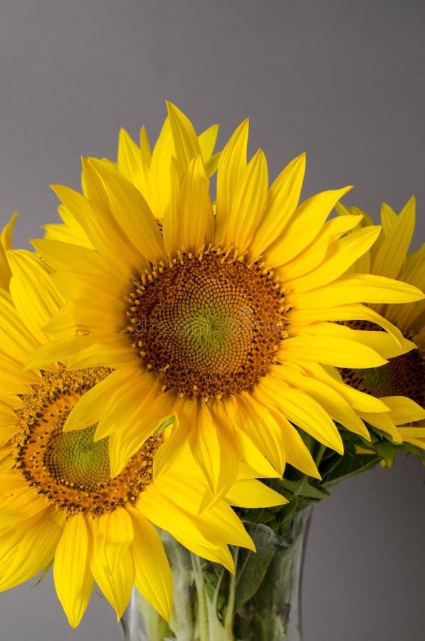 Ramo hermoso de girasoles amarillos brillantes contra fondo gris fotografía de archivo