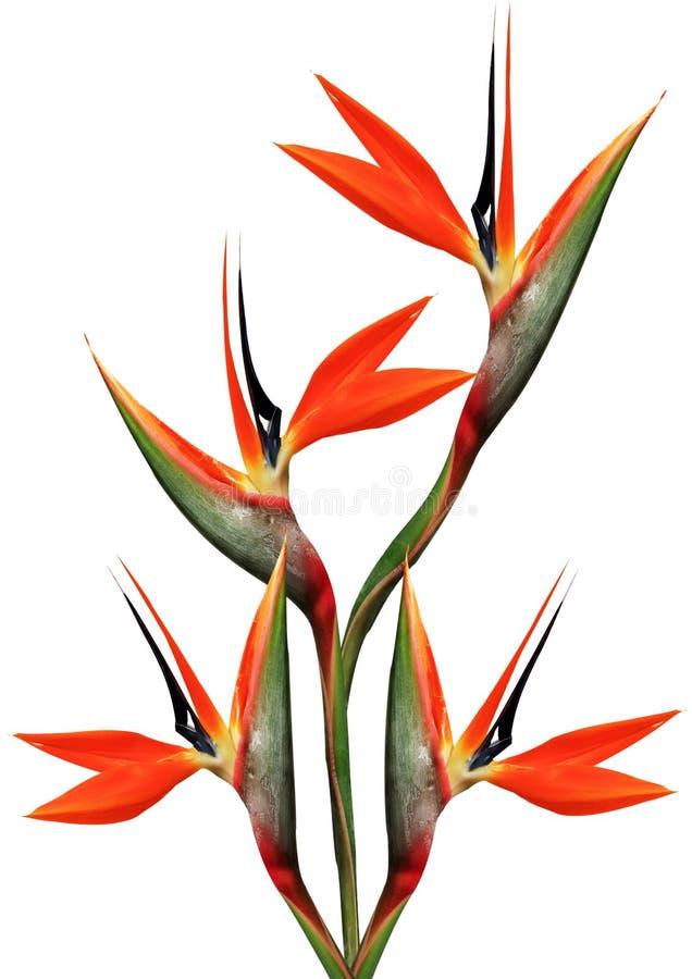 Ramo hermoso de la ave del paraíso ilustración del vector