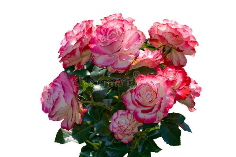 Ramo hermoso de rosas rosadas y blancas. imágenes de archivo libres de regalías