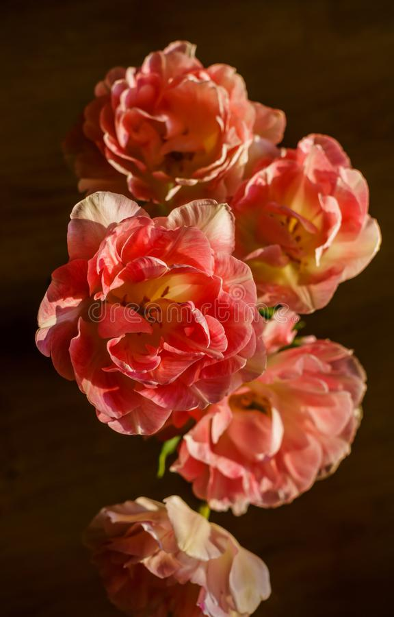 Ramo hermoso de tulipanes suavemente rosados de Terry imagenes de archivo