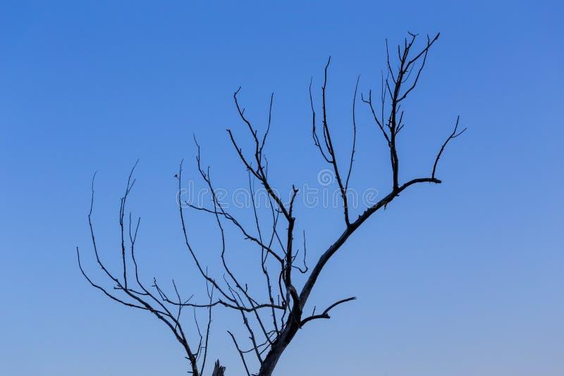 Ramo inoperante seco no comlosition minimalistic do fundo do céu azul do inclinação foto de stock royalty free