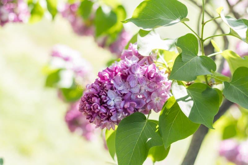 Ramo lilás roxo de florescência bonito foto de stock royalty free