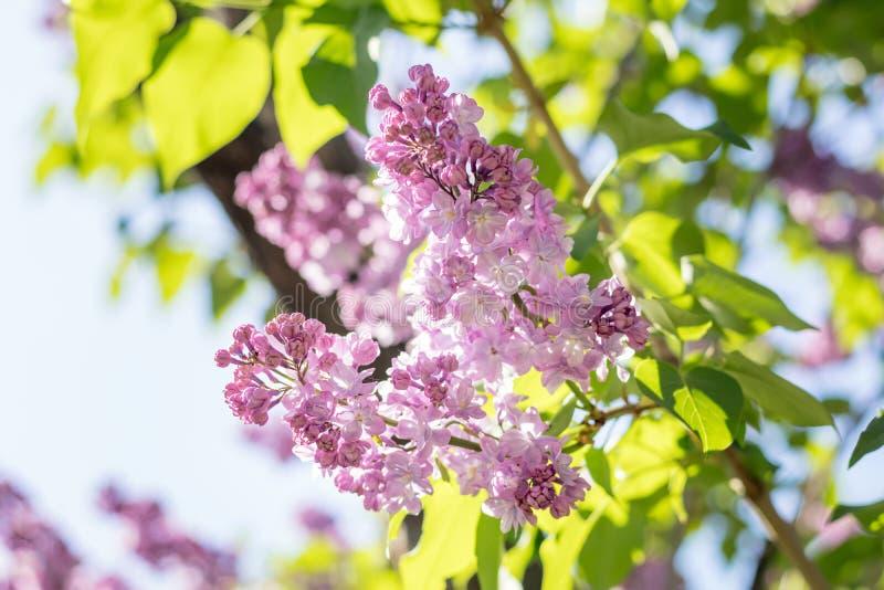 Ramo lilás roxo de florescência bonito fotos de stock royalty free