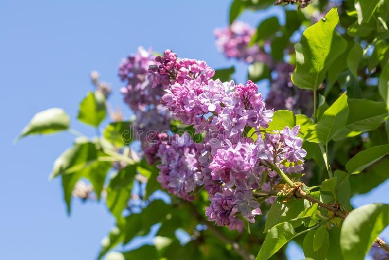 Ramo lilás roxo de florescência bonito imagens de stock royalty free