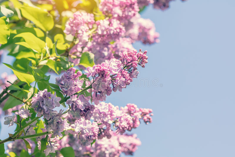 Ramo lilás roxo de florescência bonito fotografia de stock