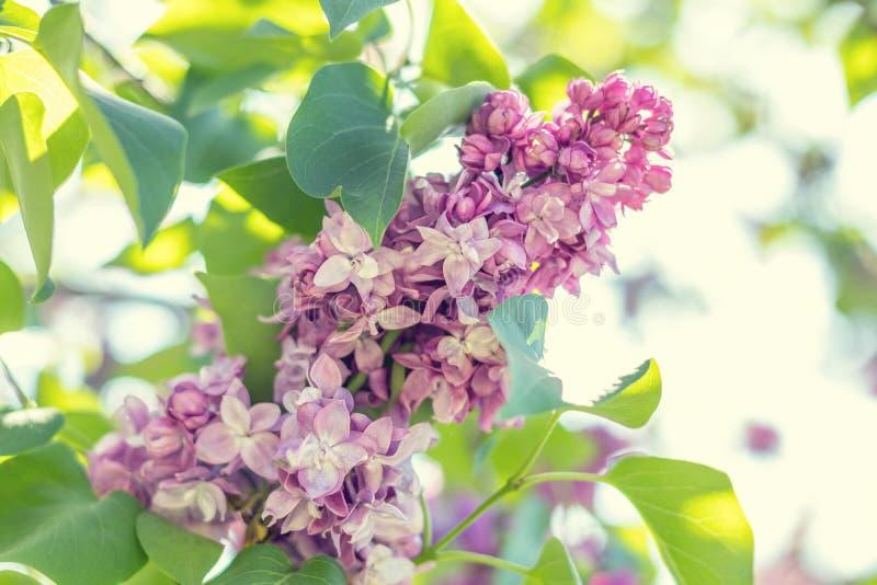 Ramo lilás roxo de florescência bonito fotos de stock