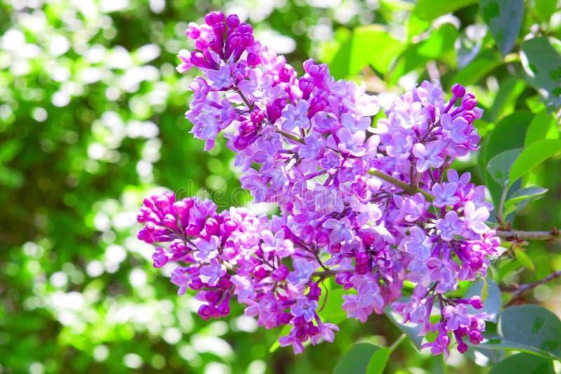 Ramo lilla. fotografia stock libera da diritti