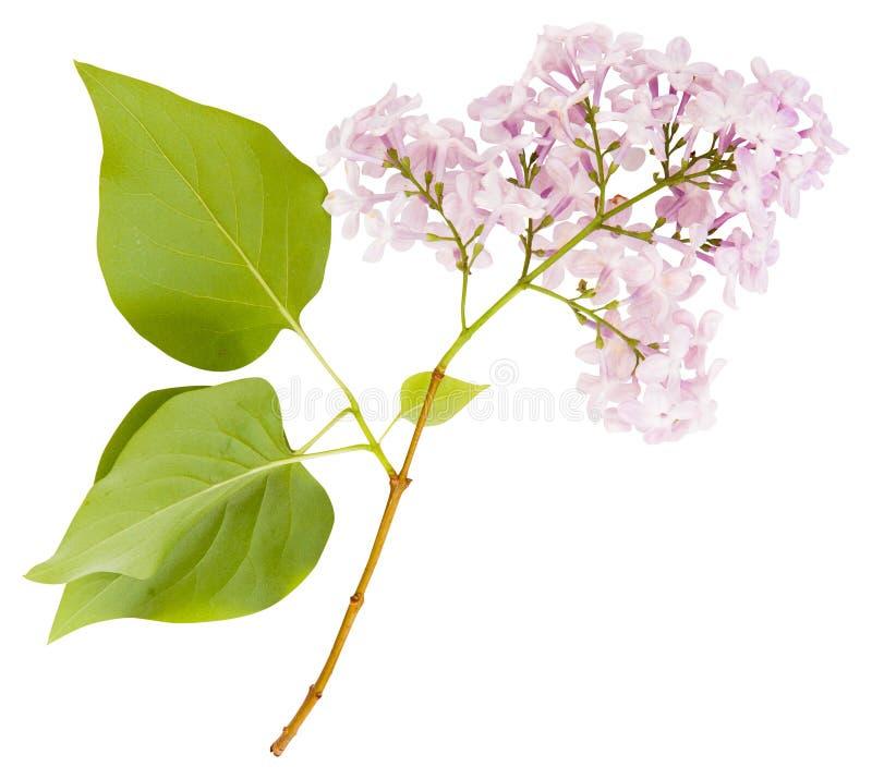 Ramo lilla porpora di fioritura isolato Il tempo di primavera… è aumentato foglie, sfondo naturale fotografia stock