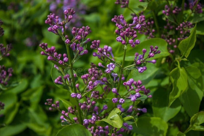 Ramo lilla Unblown in primavera immagini stock libere da diritti
