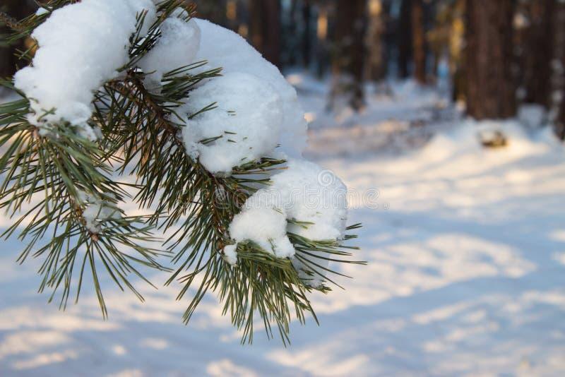 Ramo macio coberto de neve do pinho na floresta do inverno exterior imagem de stock royalty free