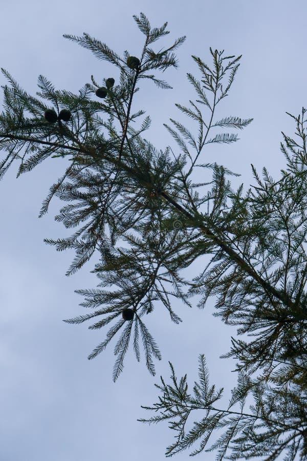 Ramo mostrado em silhueta exterior da haste da textura da agulha do pinho com o céu azul no fundo imagens de stock