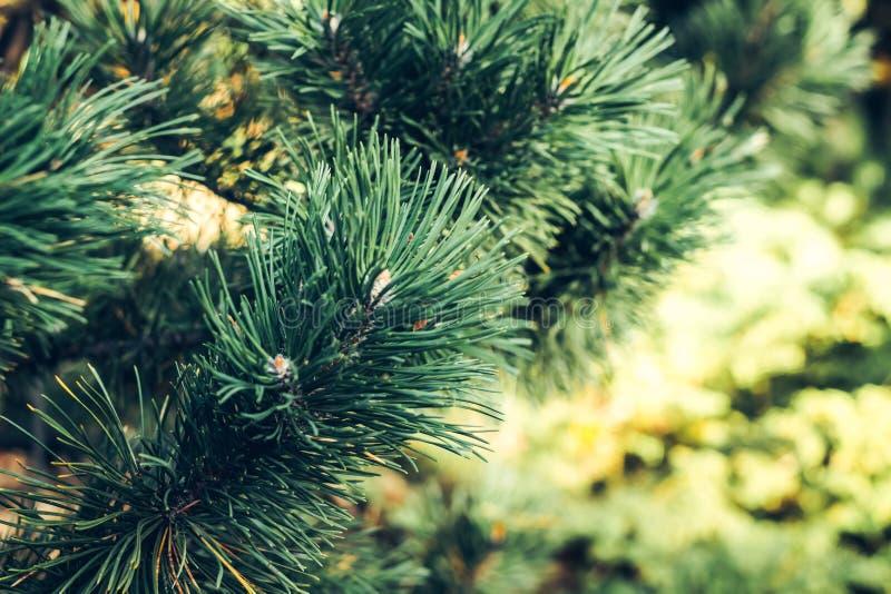 Ramo naturale del pino coperto di rugiada al gardenBackground botanico dei rami dell'albero di Natale Filiali spinose verdi immagine stock libera da diritti