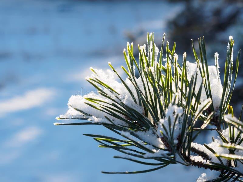 Ramo nevado do pinho no Lit da natureza por The Sun fotografia de stock