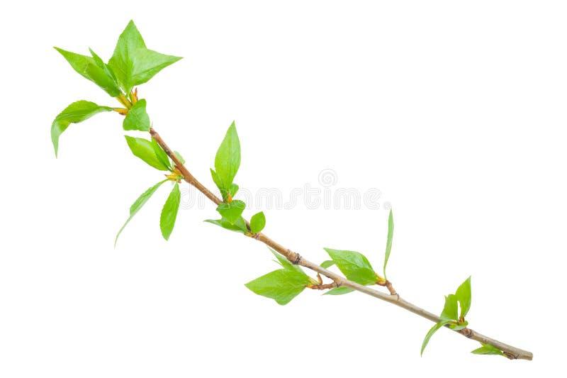 Ramo novo de uma árvore imagens de stock