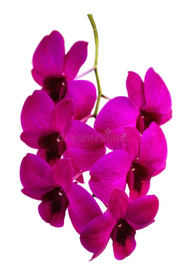 Ramo púrpura de la orquídea aislado con las trayectorias de recortes en un fondo blanco fotos de archivo