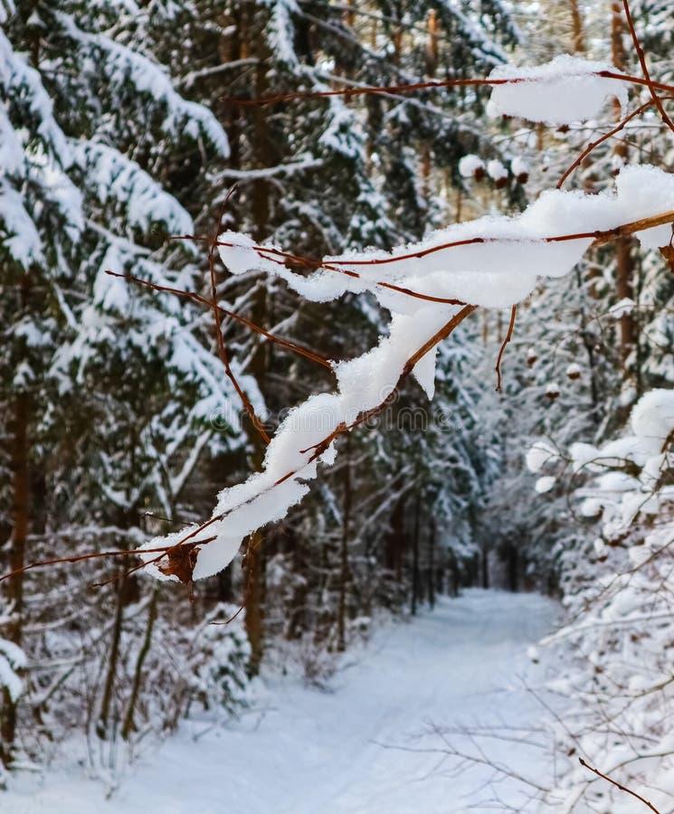 Ramo pittoresco coperto di neve sui precedenti della foresta di inverno fotografia stock libera da diritti