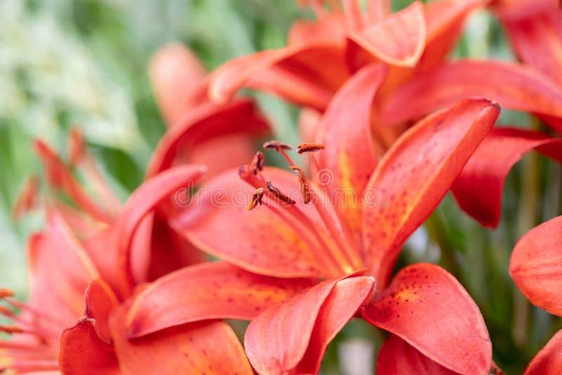 Ramo que se casa hermoso de lirios rojos frescos y de hojas verdes fotos de archivo libres de regalías