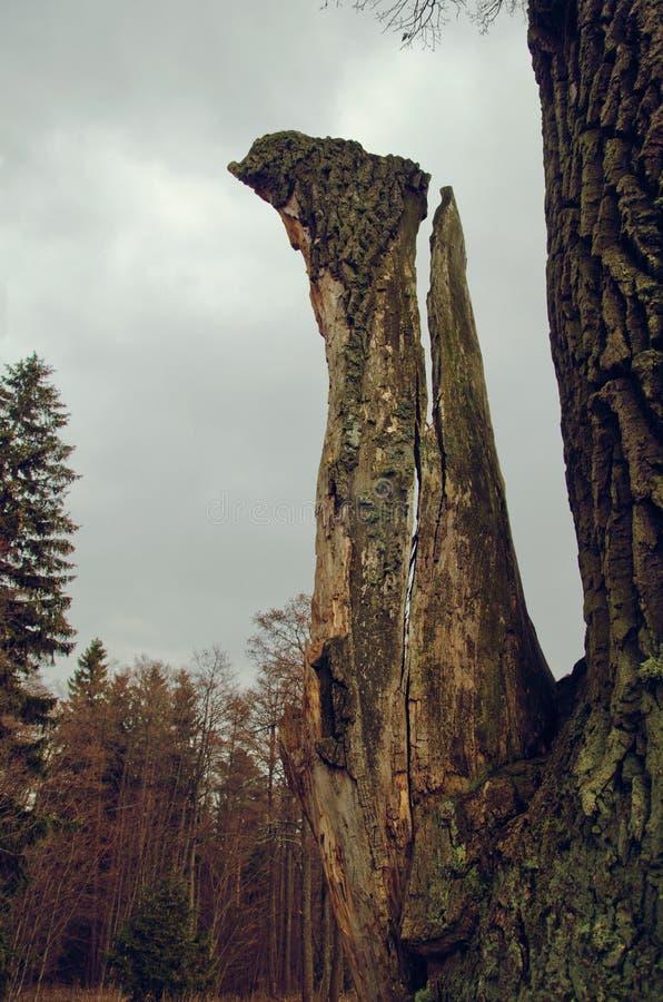Ramo quebrado de uma árvore velha na floresta do norte fotografia de stock
