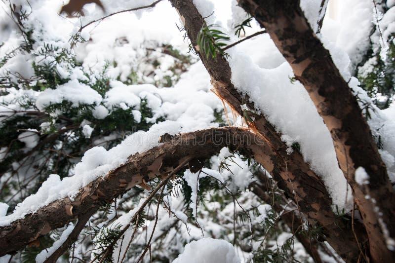 Ramo quebrado do teixo do baccata do Taxus sob o peso molhado pesado da neve no fim do inverno acima foto de stock