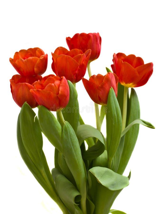 Ramo rojo de los tulipanes imagenes de archivo