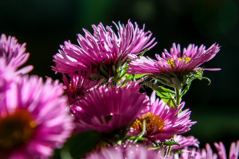 Ramo rosado de las flores del aster en fondo oscuro imagenes de archivo