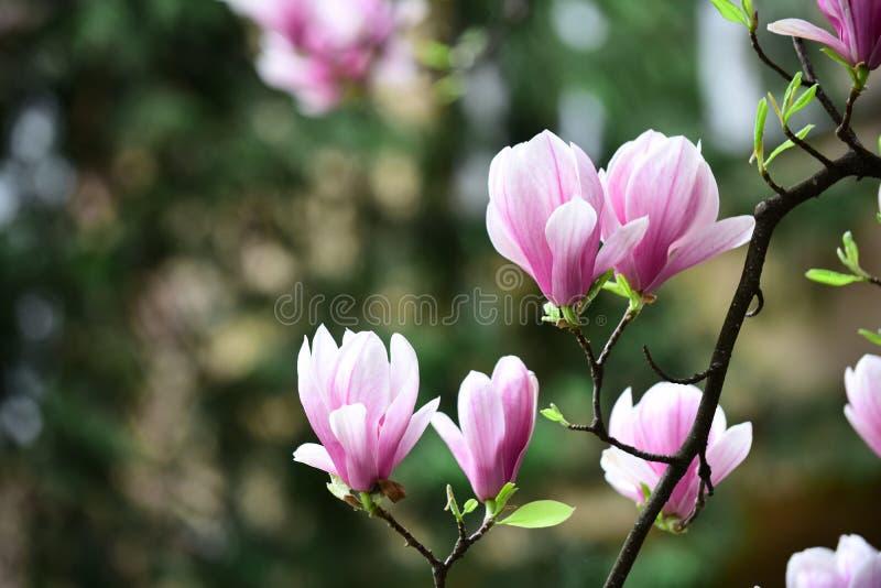 Ramo sbocciante della magnolia con i fiori viola su fondo vago fotografia stock libera da diritti