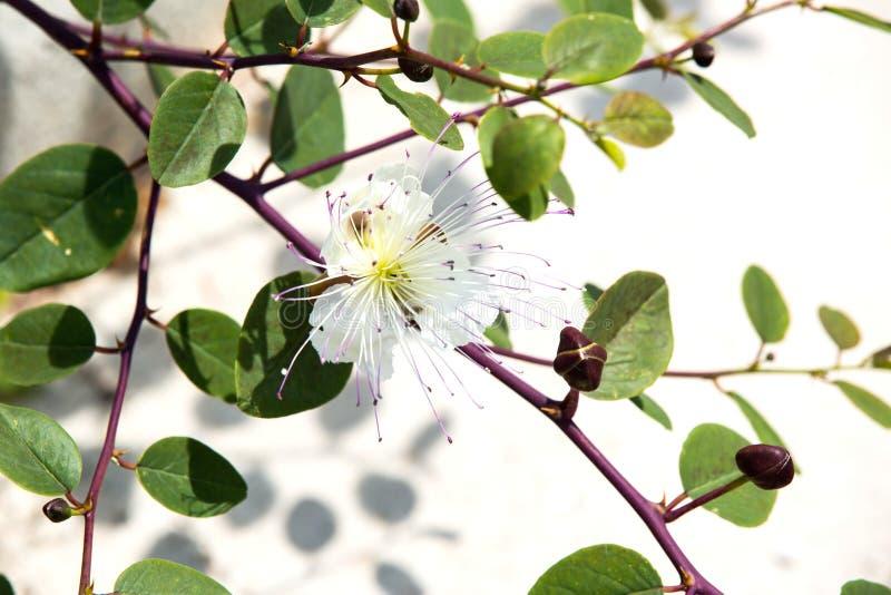 Ramo selvagem das alcaparras com flor foto de stock