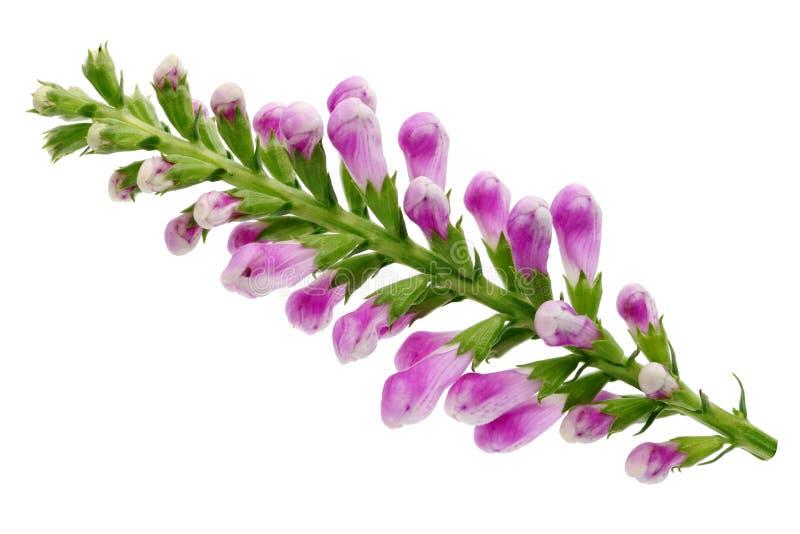 Ramo selvagem do verde da flor do verão com os botões cor-de-rosa pequenos fotos de stock
