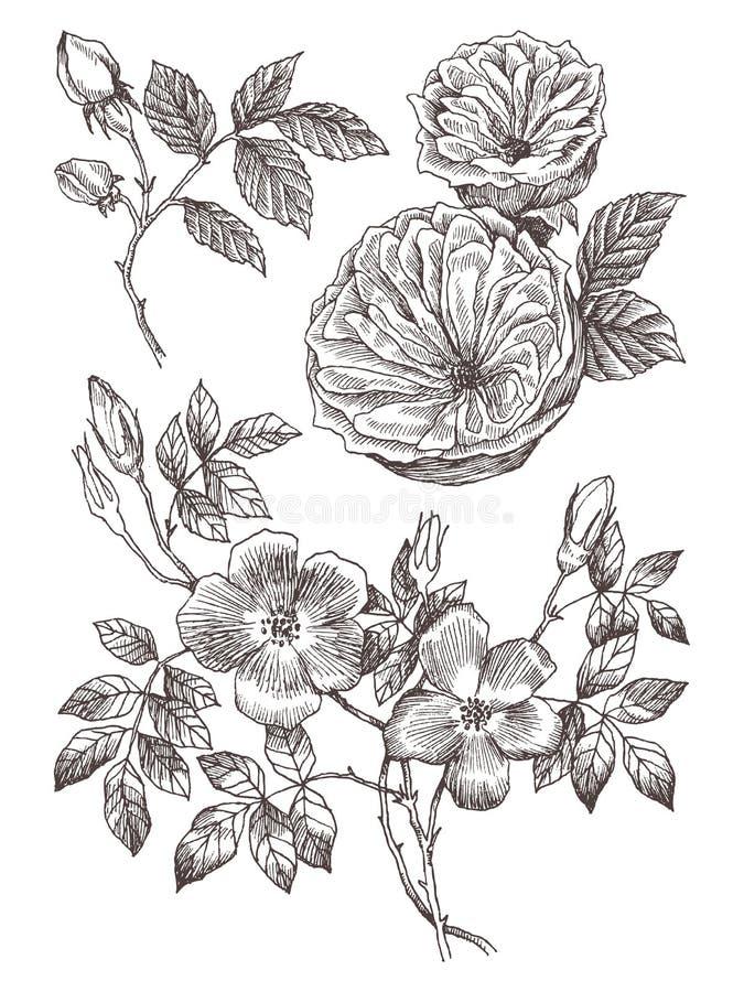 Ramo selvaggio del fiore delle rose isolato su bianco Illustrazione disegnata a mano botanica d'annata I fiori della primavera de illustrazione di stock