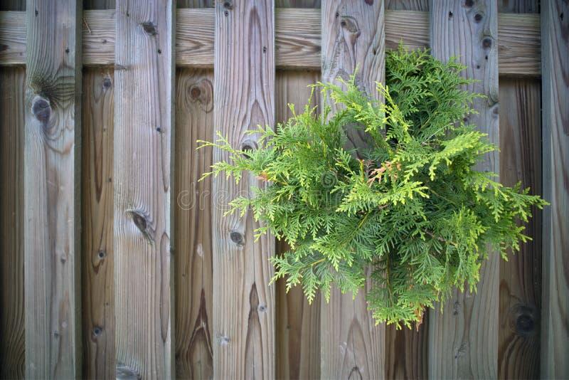 Ramo sempre-verde do thuja que faz sua maneira do ` através da cerca fotos de stock royalty free