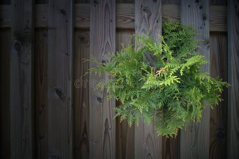 Ramo sempre-verde do thuja que faz sua maneira do ` através das pranchas de planeamento da cerca fotografia de stock