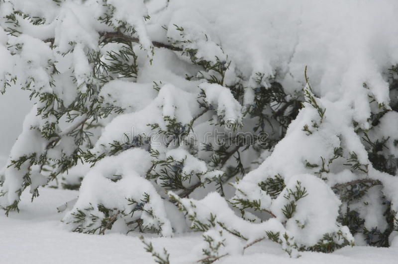 Ramo sempre-verdes da árvore carregado com neve fresca pesada imagem de stock royalty free