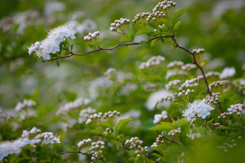 Ramo sottile dello spirea bianco di fioritura fotografia stock libera da diritti